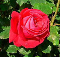 A photo of the 'Lady of Heart' rose.
